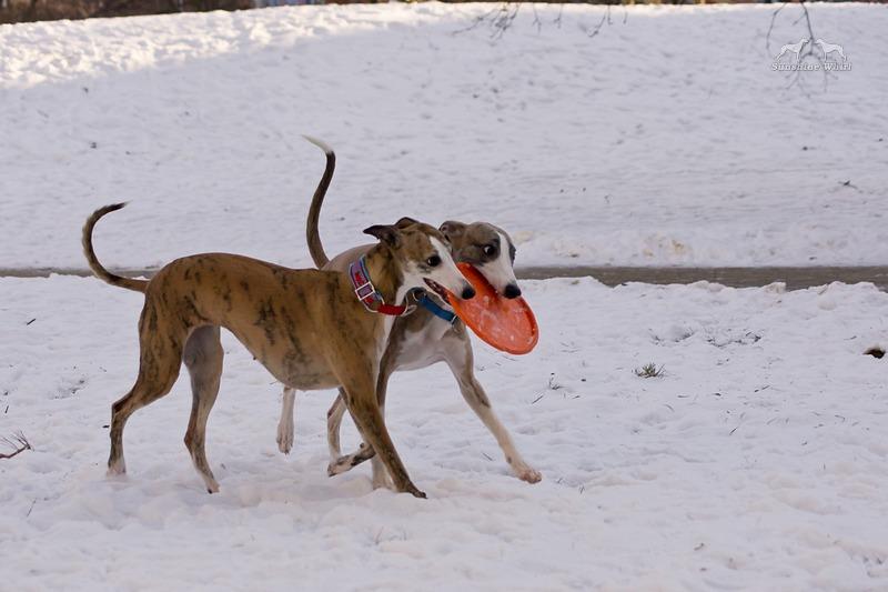 Dwa psy i jedno frisbee